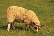 There are concerns over the accuracy of the electronic sheep movement database
