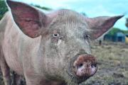 Download a new guide on ventilating pig buildings