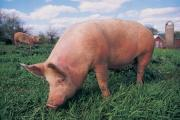 ASDA pledge will help pig farmers ride out lowest prices for 16 years