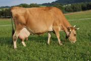 Jersey gravid cow grazing on a summer pasture