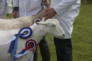 Royal Cornwall Show goat entry record smashed