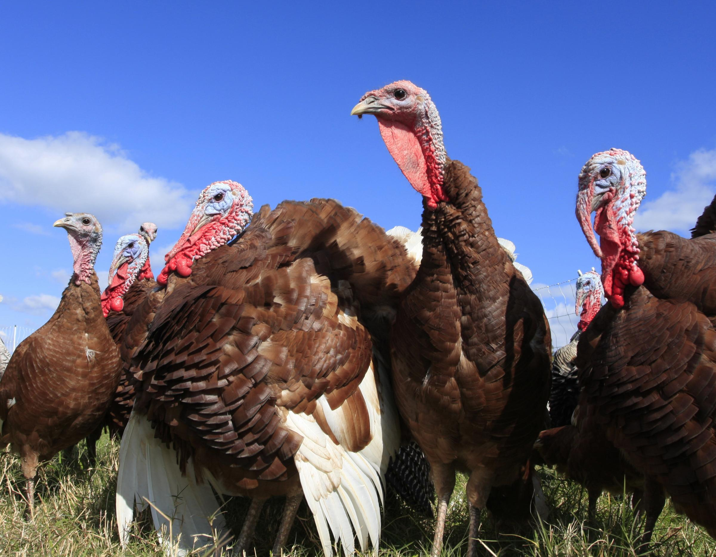 Buy higher welfare locally reared birds this Christmas says NFU