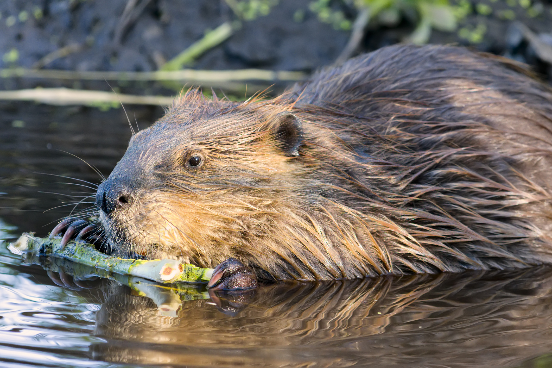 Beavers to be released in the Forest of Dean confirms Michael Gove