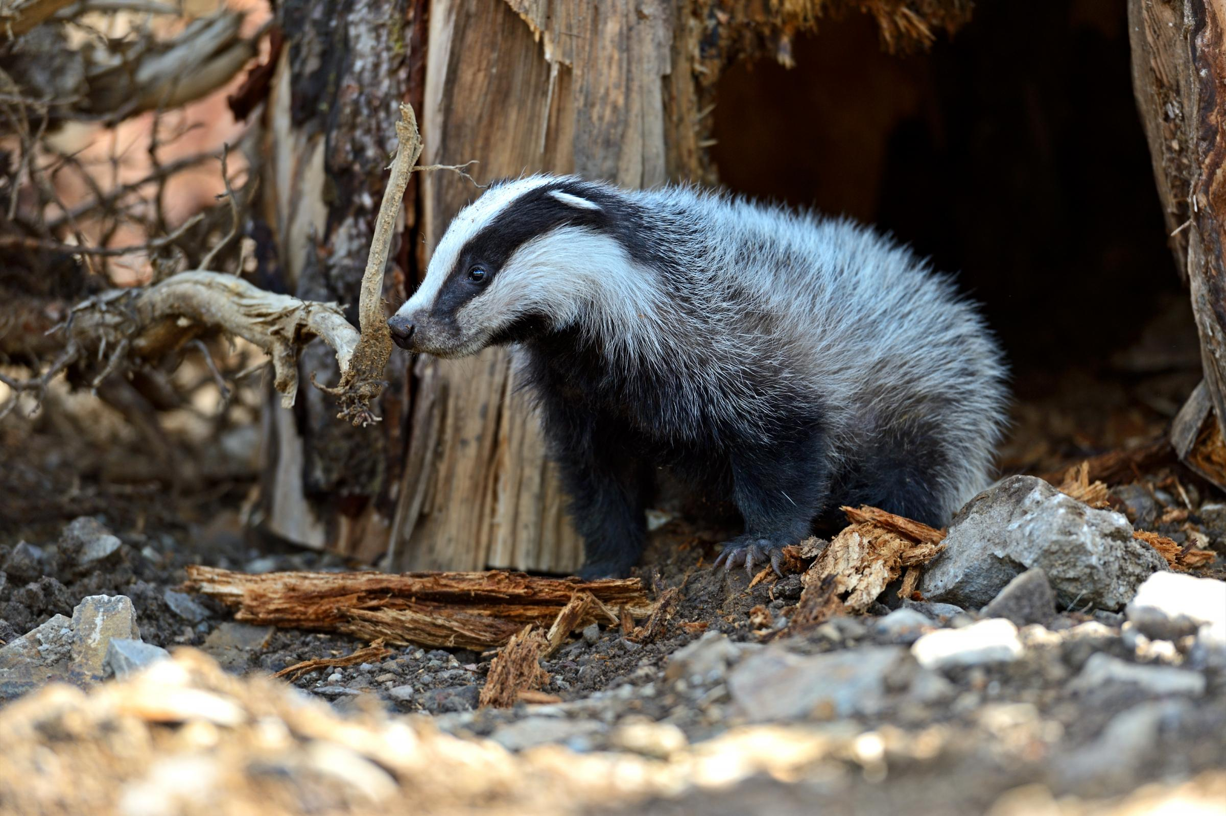 BVA questions introduction of badger culling into bTB Low Risk Area