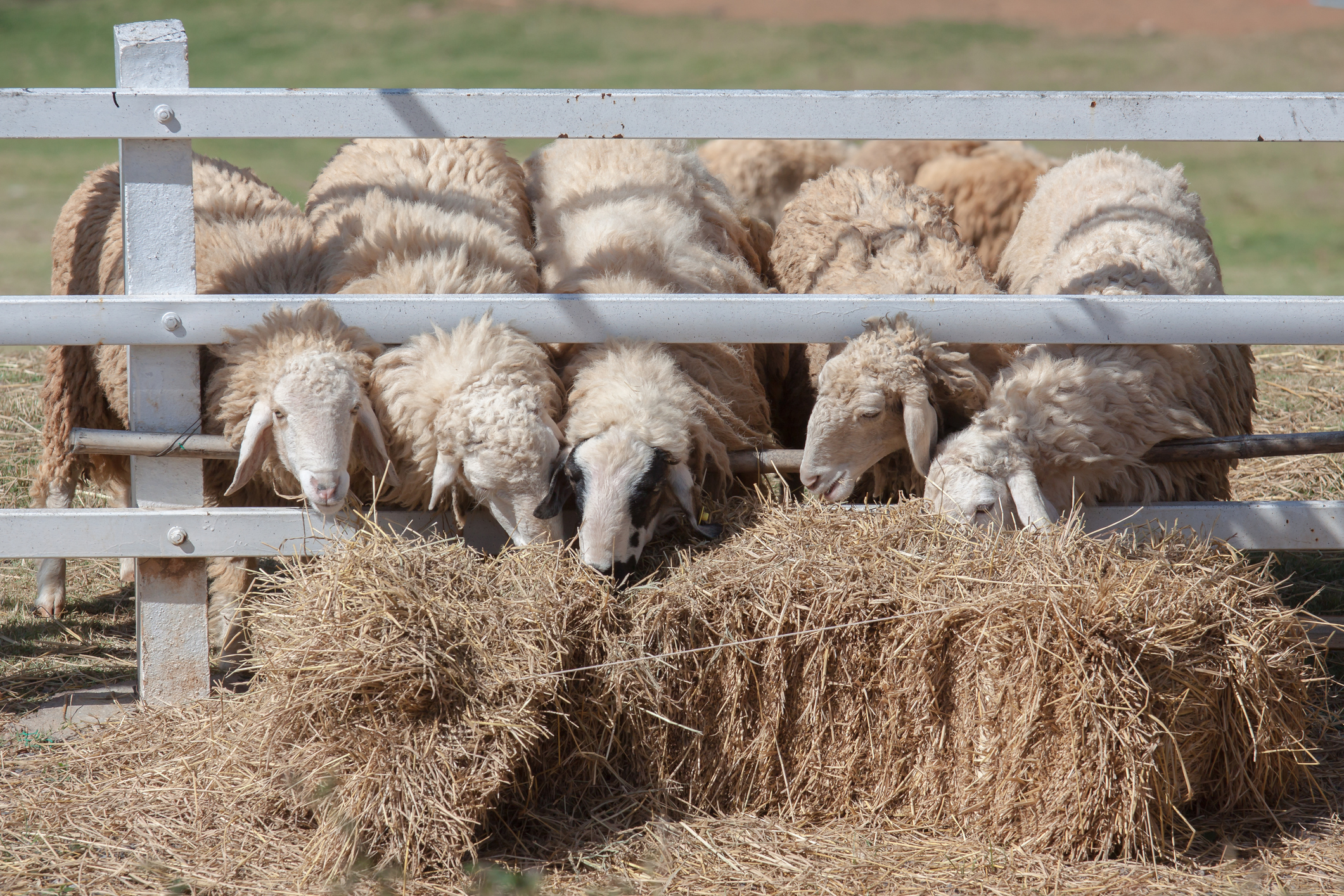 How to manage risk to sheep from blood sucking worm as weather warms up