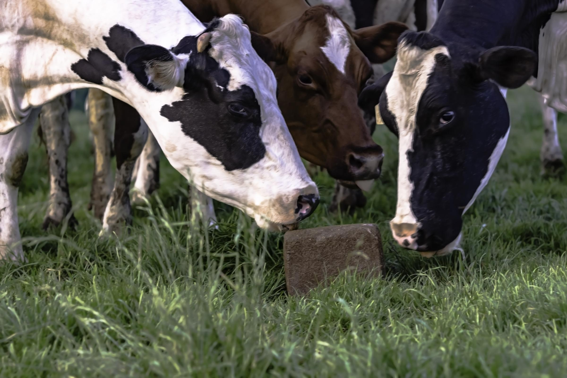 Holstein dairy cows licking at a mineral block