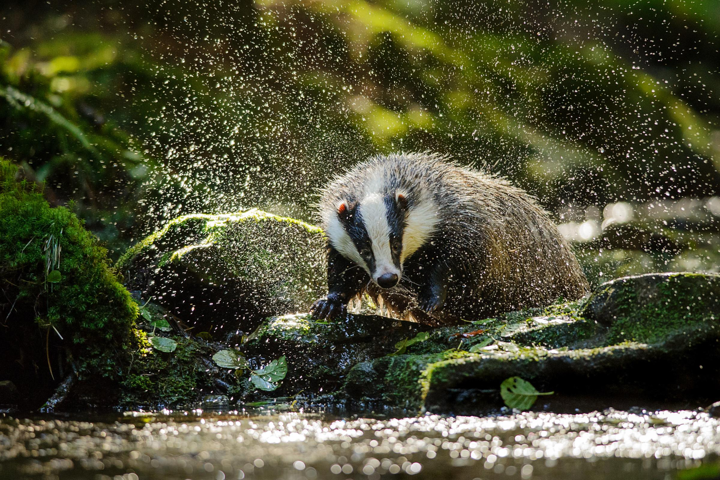 Concerns about the welfare of badgers trapped in cages