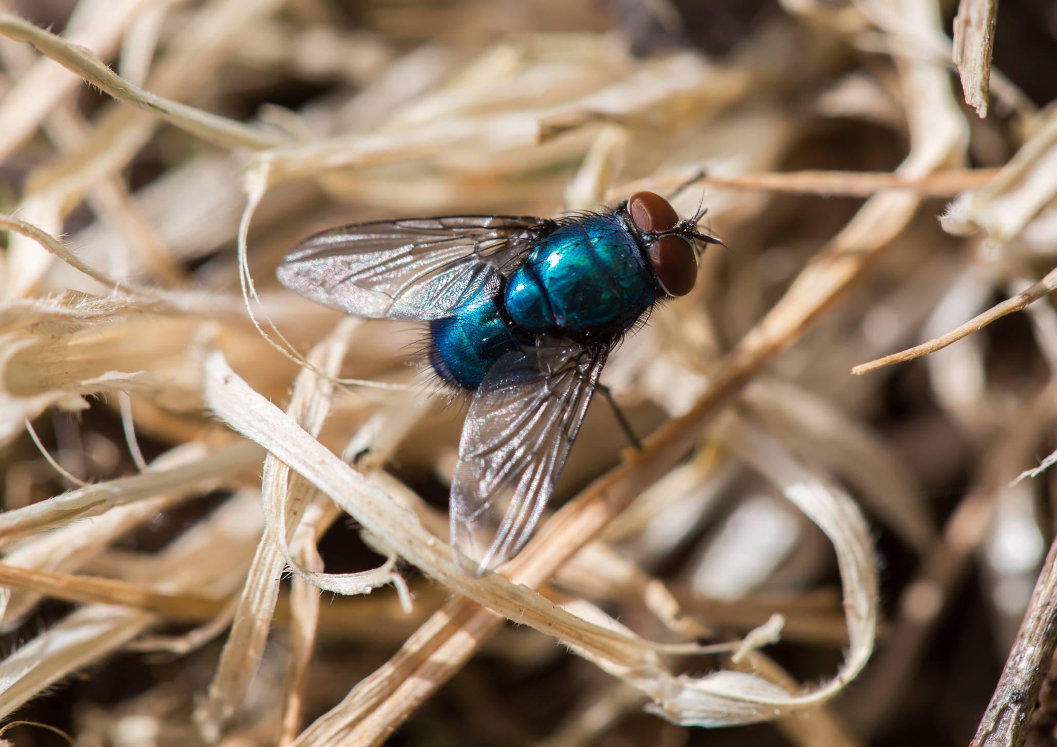 Blowfly strikes will be likely when the weather breaks