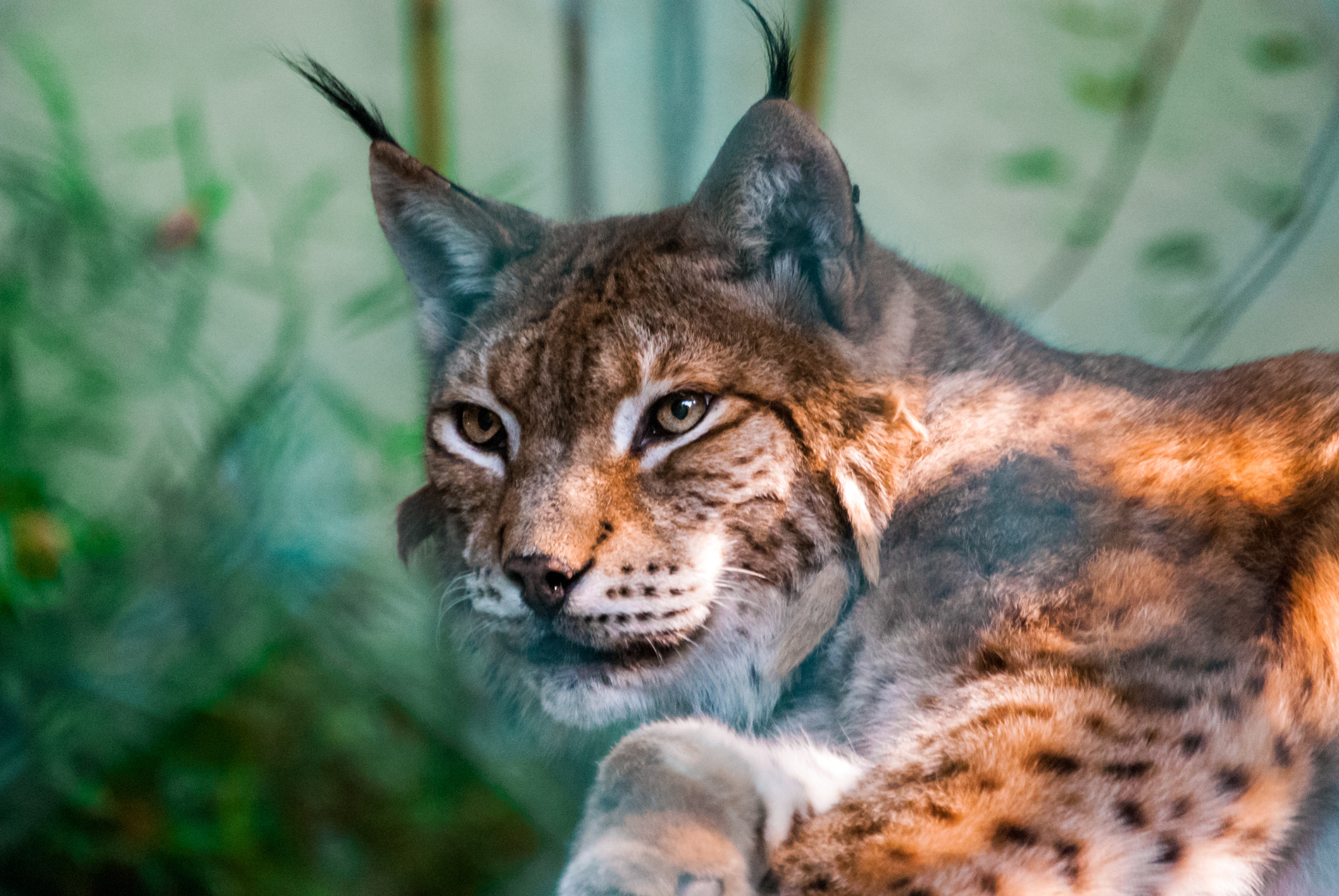 Discussions surrounding introduction of lynx are hotting up