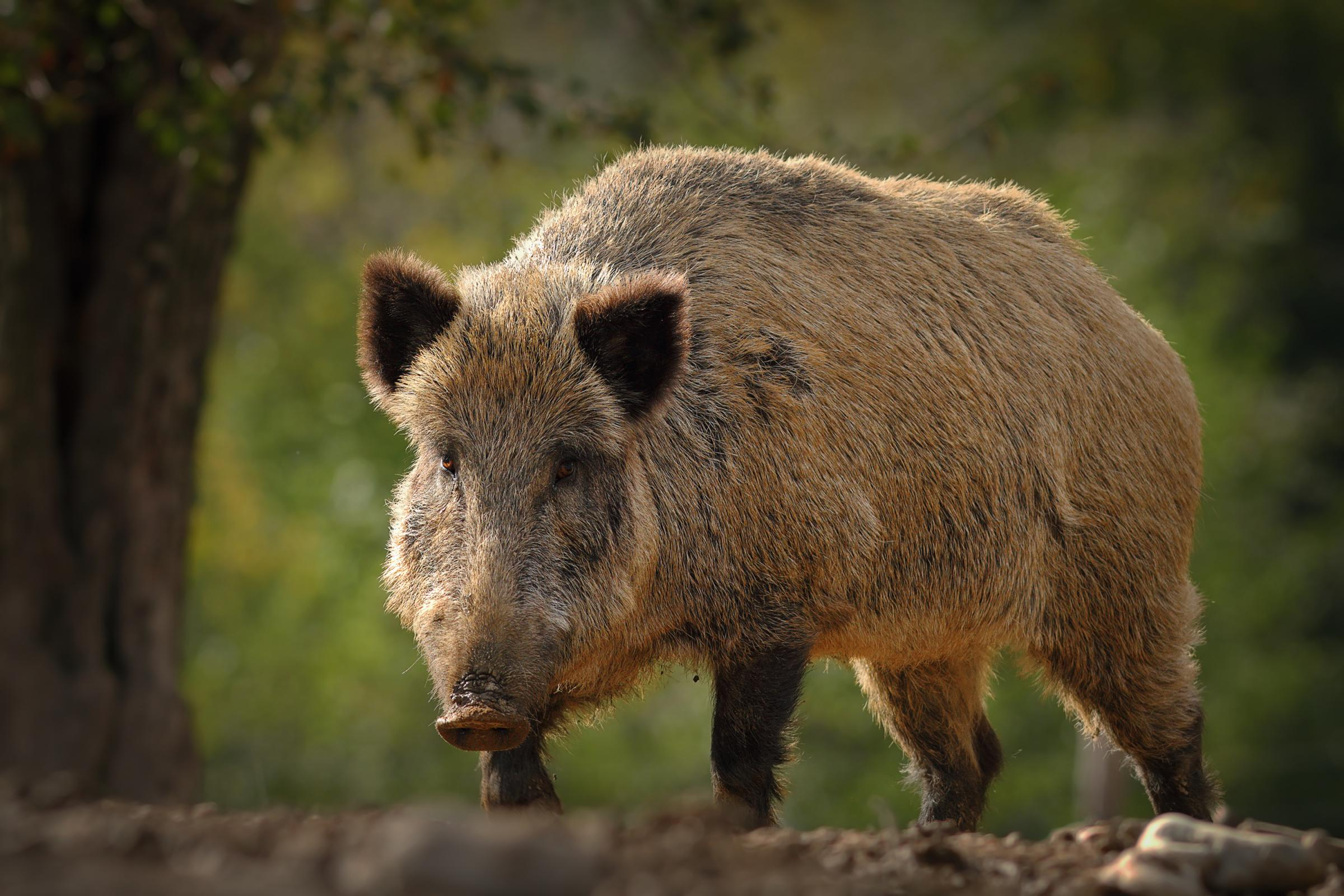 Eastern Europe is seeing African Swine Fever spread due in part to wild boar