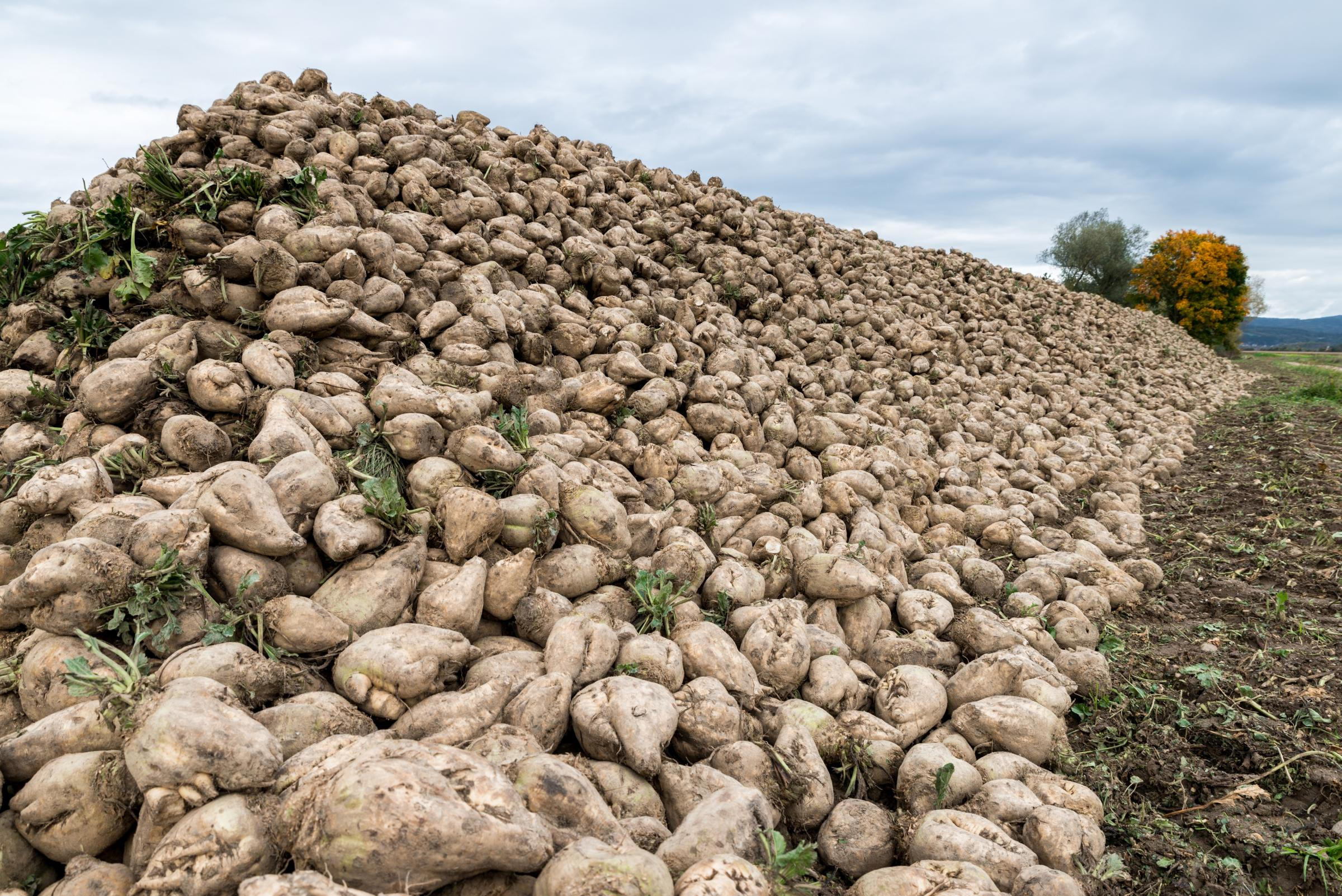 Final call as refunds worth £350k unclaimed by sugar beet growers