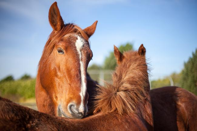 Advice from Blue Cross on buying horses