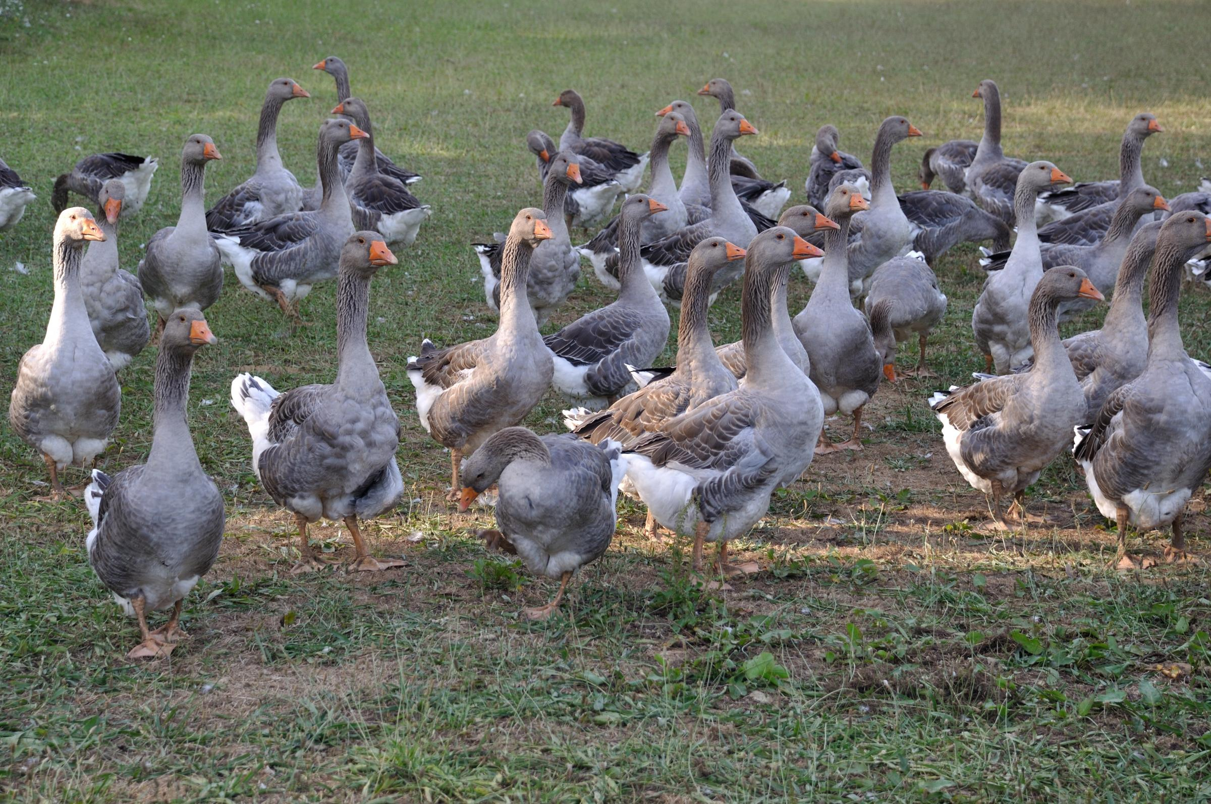 Farmed white goose in Dordogne