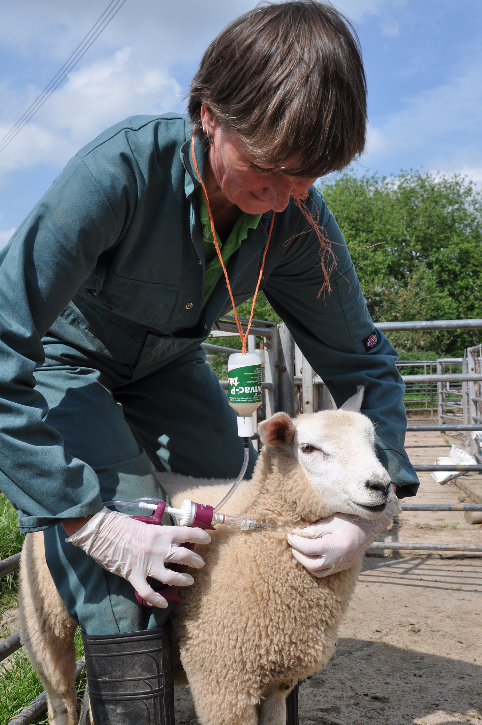 Vaccination of lambs from three weeks of age will protect them from the main clostridial diseases and pasteurellosis