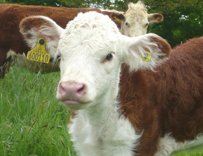 A calf's susceptibility to pneumonia is influenced by the strength of its immune system