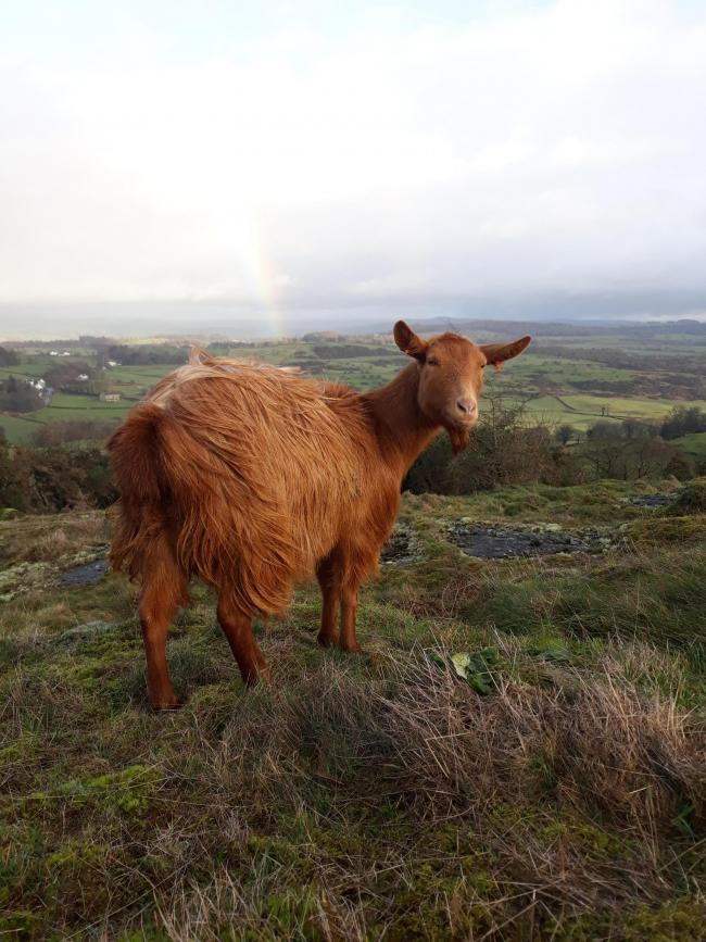 The outlook is bright for native breed goats. image: Golden Guernsey