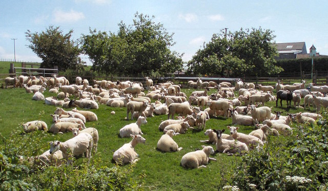 Thieves are stealing greater numbers of livestock. Image: Duncan Lilly https://commons.wikimedia.org/wiki/File:What_a_lot_of_sheep_you%27ve_got%5E_-_geograph.org.uk_-_458276.jpg
