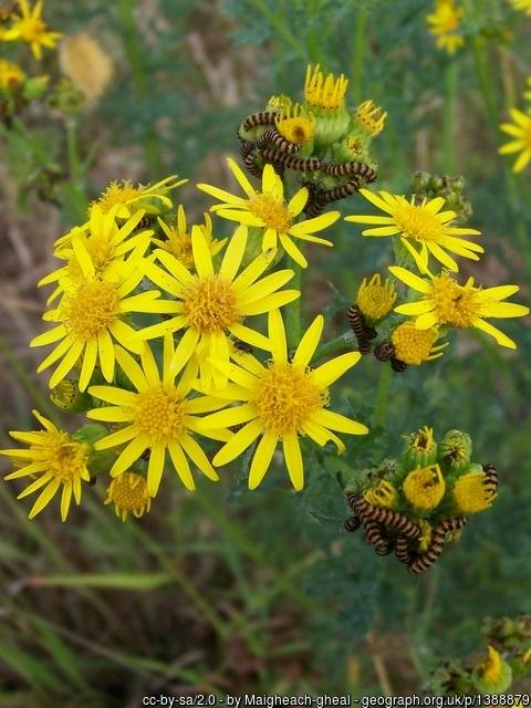 Ragwort is one of the injurious weeds native to the UK