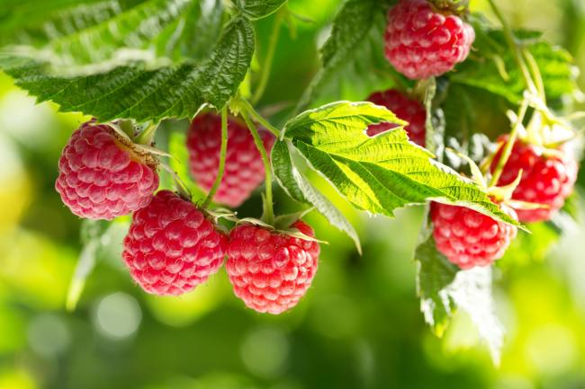 British raspberry season arrives early